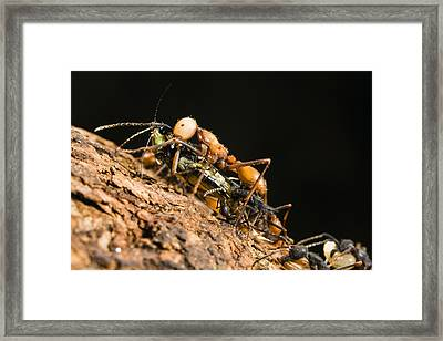 Army Ant Carrying Cricket La Selva Framed Print