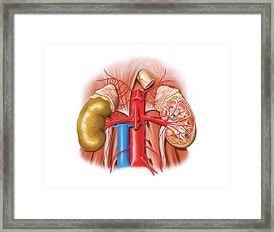 Arterial System Of The Abdomen Framed Print