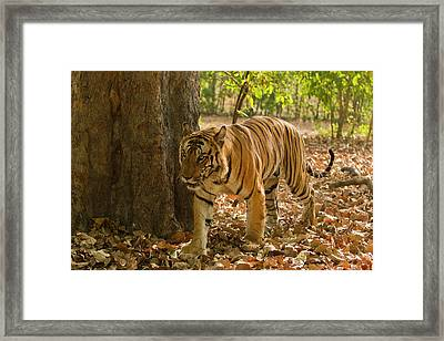 Asia; India Bandhavgarh National Park Framed Print