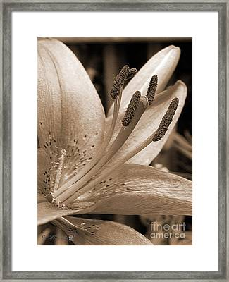Asiatic Lily Hybrid Named Cote D'azur Framed Print by J McCombie