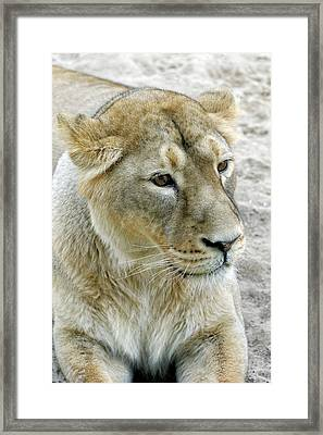 Asiatic Lion Framed Print by Heiti Paves