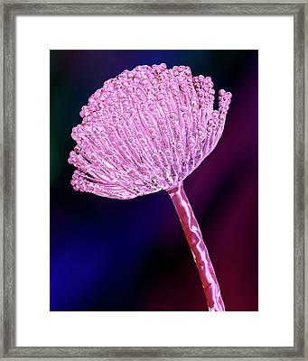 Aspergillus Fungus Framed Print by Kateryna Kon