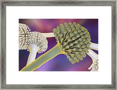Aspergillus Framed Print