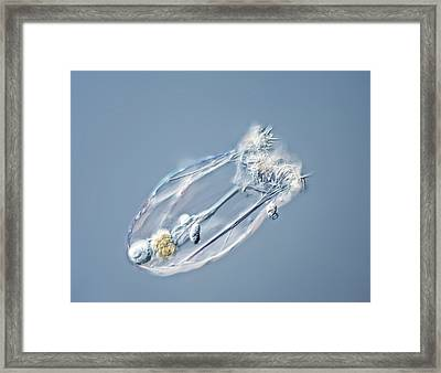 Asplanchna Rotifer Framed Print