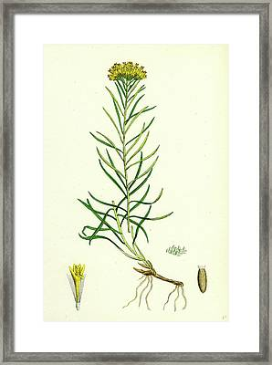 Aster Linosyris Goldylocks Framed Print by English School