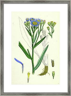 Aster Tripolium Sea-side Aster Framed Print by English School