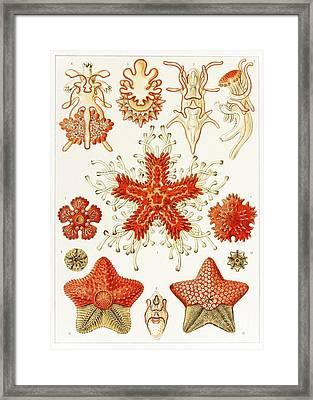 Asteroidea Organisms, Artwork Framed Print