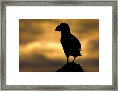 Atlantic Puffin Framed Print by Alex Hyde