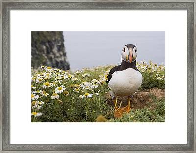 Atlantic Puffin In Breeding Plumage Framed Print by Sebastian Kennerknecht