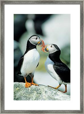 Atlantic Puffins (fratercula Arctica Framed Print by Richard and Susan Day