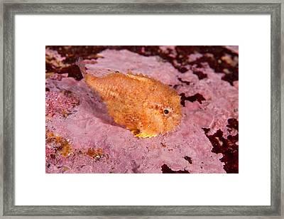 Atlantic Spiny Lumpsucker Framed Print by Andrew J. Martinez