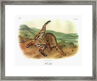 Audubon Bobcat Framed Print