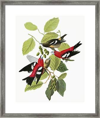 Audubon Crossbill Framed Print