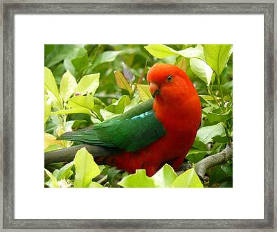 Framed Print featuring the photograph Australian King Parrot by Margaret Stockdale