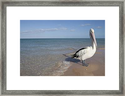 Australian Pelican Framed Print by Science Photo Library