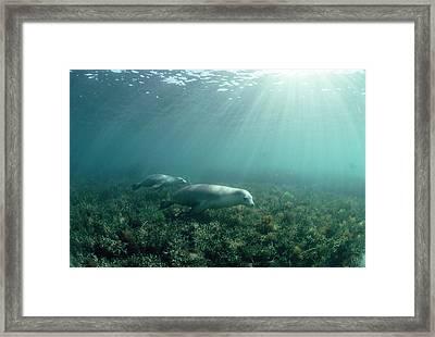 Australian Sea Lions Framed Print