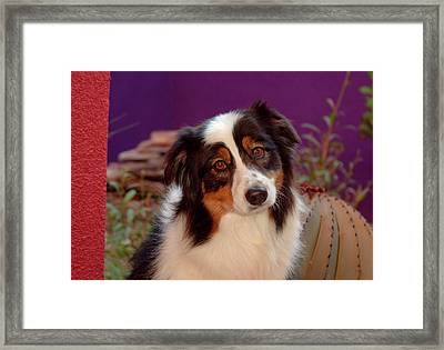 Australian Shepherd Portrait (mr & Pr Framed Print by Zandria Muench Beraldo