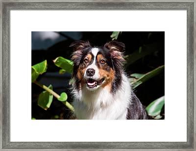 Australian Shepherd Portrait (mr Framed Print
