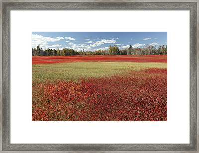 Autumn Blueberry Field Maine Framed Print by Scott Leslie