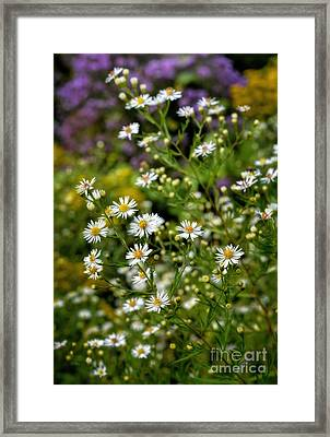 Autumn - Wildflowers - Asters Framed Print