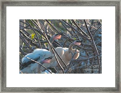 Baby Anhinga Framed Print by Mark Newman