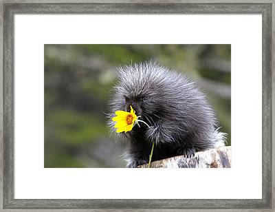 Baby Porcupine With Flower Framed Print