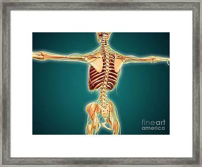 Back View Of Human Skeleton Framed Print