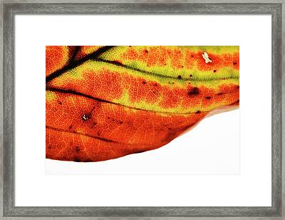 Backlit Autumnal Leaf Framed Print by Mauro Fermariello/science Photo Library