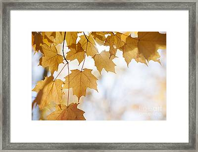 Backlit Maple Leaves In Fall Framed Print by Elena Elisseeva