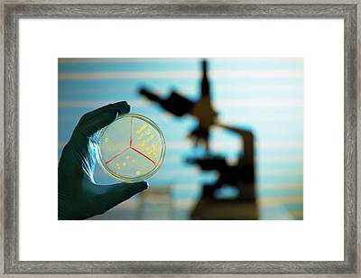 Bacterium Growing On Petri Dish Framed Print