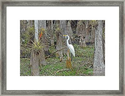 Bald Cypress Swamp With Great Egret Framed Print by John Serrao