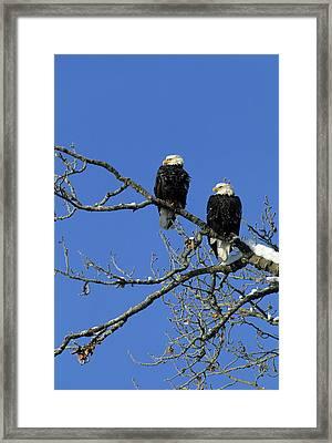 Bald Eagle, Chilkat River, Haines Framed Print by Gerry Reynolds