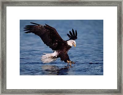 Bald Eagle Fishing Kenai Framed Print by Yva Momatiuk John Eastcott