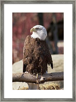 Bald Eagle Framed Print by Jim West
