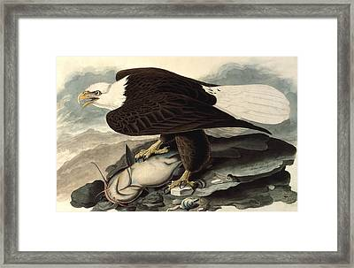 Bald Eagle Framed Print by John James Audubon