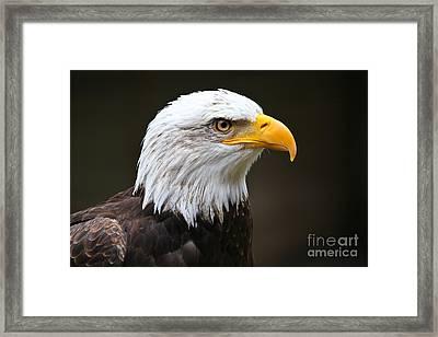 Majestic Bald Eagle  Framed Print by John Roberts