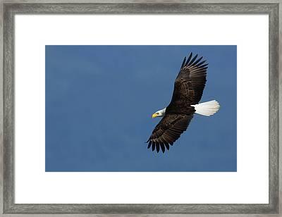Bald Eagle Framed Print by Ken Archer