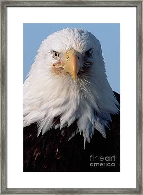 Bald Eagle Portrait Alaska Framed Print by