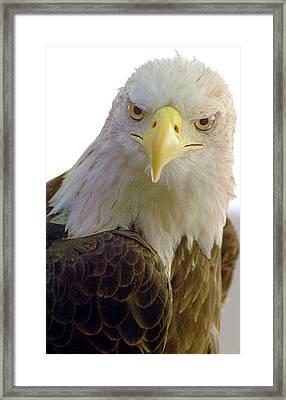 Bald Eagle Framed Print by Steve Archbold