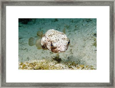 Balloonfish Framed Print by Andrew J. Martinez