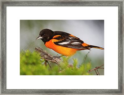 Baltimore Oriole Foraging Framed Print by Larry Ditto