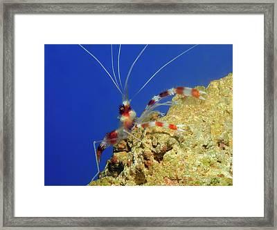 Banded Coral Shrimp Framed Print by Nigel Downer