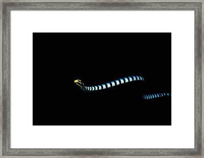 Banded Sea Snake Framed Print