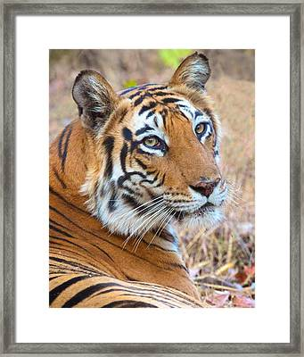 Bandhavgarh Tigeress Framed Print