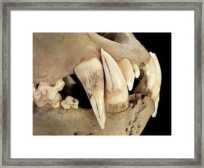 Barbary Lion Skull Framed Print