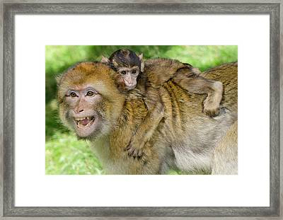 Barbary Macaque And Baby Framed Print