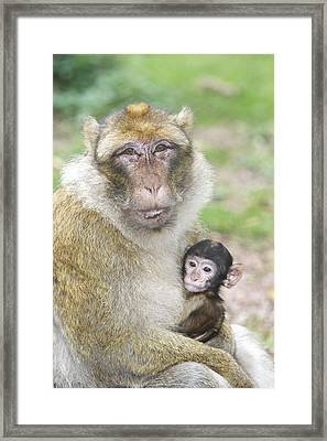 Barbary Macaque With Baby Framed Print