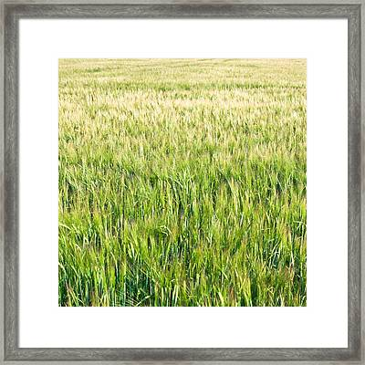 Barley Framed Print by Tom Gowanlock