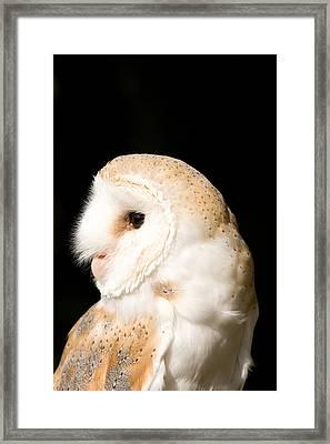 Barn Owl - Tyto Alba Framed Print by Paul Lilley
