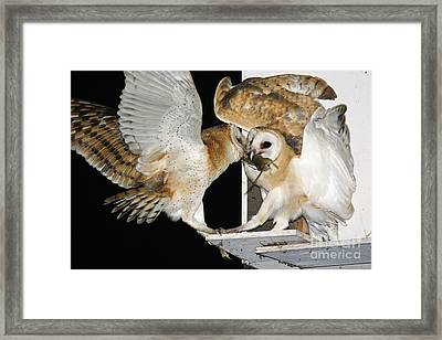 Barn Owls Feeding On A Rat Framed Print by PhotoStock-Israel